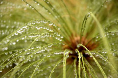 Water drops on Egyptian Papyrus stems Royalty Free Stock Images