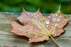 Water drops on a fallen maple leaf (macro). The full leaf covered in rain drops on a wood and green background Stock Photos