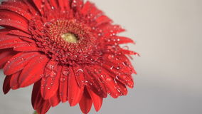 Water drops falling on a flower stock footage