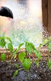 Water drops falling on pepper seedling Royalty Free Stock Photography