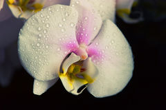 Water drops falling on white orchid Royalty Free Stock Image