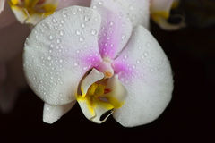 Water drops falling on white orchid Stock Image