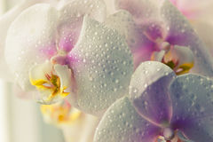Water drops falling on white orchid Royalty Free Stock Images