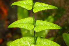 Water drops with fern leaf. Royalty Free Stock Photo