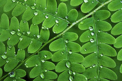 Water drops on Fern Stock Photos