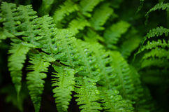 Water drops on a ferns Stock Images