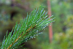 Water drops on fir tree after rain Royalty Free Stock Photography