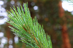 Water drops on fir tree after rain Royalty Free Stock Image