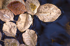 Water drops on floating Autumn leaves Stock Photo