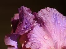 Water drops on flower. Iris closeup Stock Photography