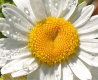 Water drops on a Flower. Water drops on a beautiful flower Stock Photo