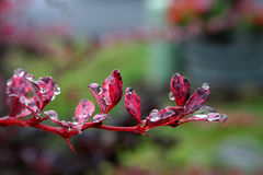 Water drops on flower petals. Macro view of water drops or dew on red flower petals Stock Photos