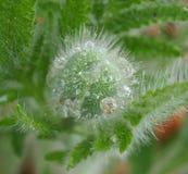 Water drops on the flower poppy, South Bohemia. Czech Republic Stock Image