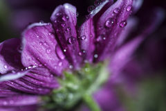 Water drops on flower. Water drops on Purple Flower Royalty Free Stock Image