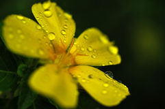 Water drops on flower Stock Images