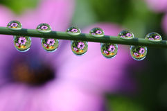 Water Drops with Daisy Flower Reflection, macro. Stock Images