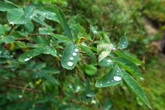 Water drops on forest leaves. Wild nature royalty free stock photos