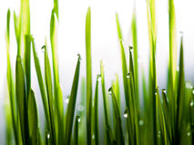 Water drops on fresh grass close up. Fresh grass after rain close up shot with white background Stock Images