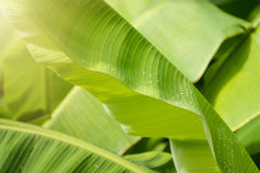 Water drops on fresh green banana leaf blur background. Water drops on fresh green banana leaf blur background Stock Photo