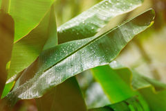Water drops on fresh green banana leaf blur background. Water drops on fresh green banana leaf blur background Royalty Free Stock Image