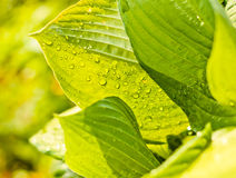 Water drops on the fresh green leaf Royalty Free Stock Images