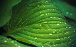 Water drops on the fresh green leaf Stock Photography