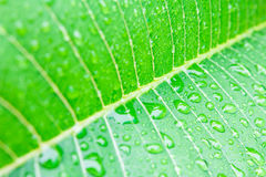 Water drops on fresh green leaf Royalty Free Stock Images