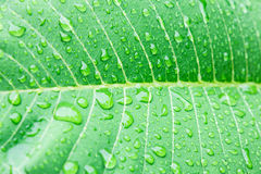 Water drops on fresh green leaf Royalty Free Stock Image