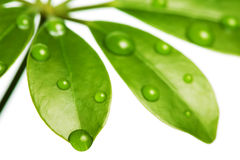Water drops on fresh green leaf Royalty Free Stock Photos