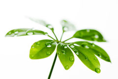 Water drops on fresh green leaf. Isolated on white Stock Photography