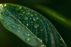 Water drops on fresh green leaf Stock Image