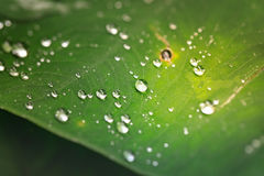 Water drops on fresh green leaf after the rain. Natural green background Royalty Free Stock Photo