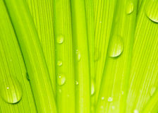 Water drops on fresh green leaves Royalty Free Stock Photo