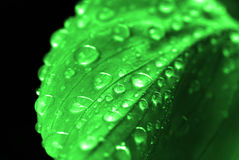 Water Drops on Fresh Green Lush Leaf Plant Growth Royalty Free Stock Images