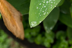 Water drops on fresh green tropical leaf. Bali tropics, Indonesia. Fresh green exotic background. Royalty Free Stock Images