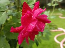 Water drops on rose. Water drops on garden red rose after rain stock photos