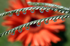 Water Drops with Gerbera Daisy Flower Reflection, macro. Stock Images