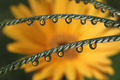 Water Drops with Gerbera Daisy Flower Reflection, macro. Stock Image