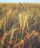 Water drops on golden wheat in field at morning - vintage. Stock Image