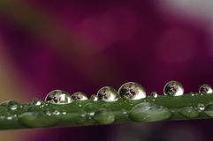 Water drops on a grass. Drops of water on a blade of grass royalty free stock photography