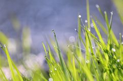 Water drops and grass. Water drops on grass at morning stock photos