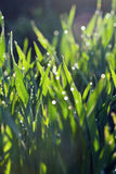 Water drops and grass Royalty Free Stock Photo