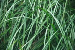 Water drops on grass in nature. macro. Tall stems of green grass. Green texture stock image