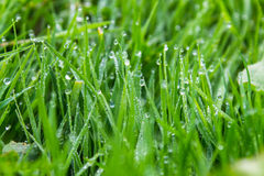 Water drops on green grass Stock Image