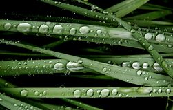 Water drops on a green grass. Crystal drops of water on a green grass Stock Photography