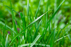 Water drops on the green grass Royalty Free Stock Image