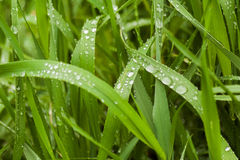 Water drops on green grass in the early morning Royalty Free Stock Images