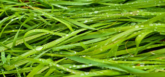 Water drops on green grass Stock Photos