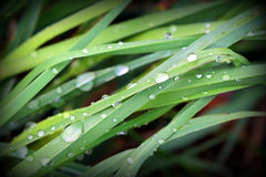 Water drops on green grass Royalty Free Stock Image