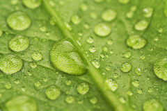 Water drops on a green leaf. Close up royalty free stock photo